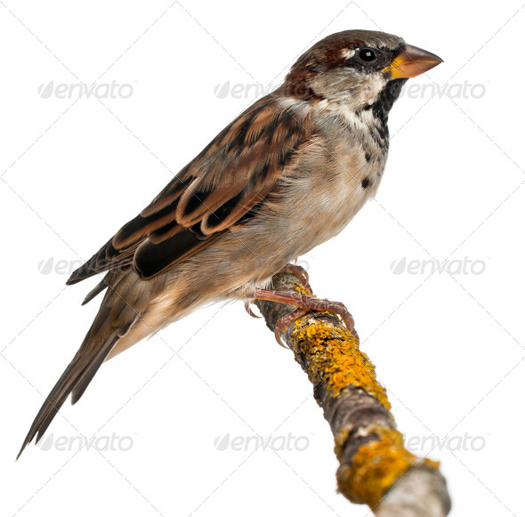 Male House Sparrow, Passer domesticus, 4 months old, in front of white background - Stock Photo - Images