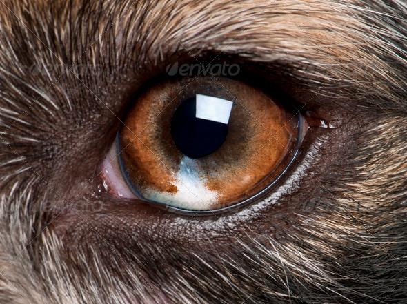 Close-up of Australian Shepherd's eye - Stock Photo - Images
