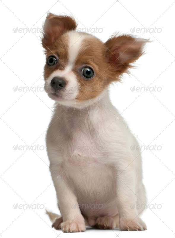 Chihuahua, 3 months old, sitting in front of white background - Stock Photo - Images