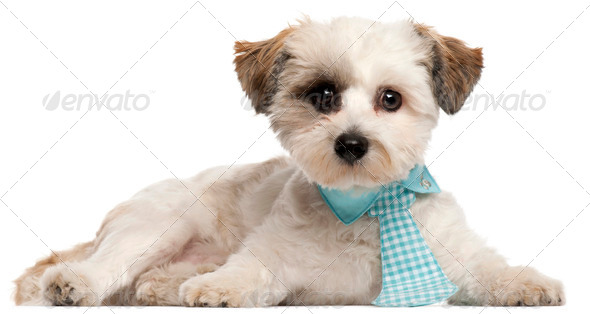 Shih Tzu, 8 months old, wearing a tie in front of white background - Stock Photo - Images