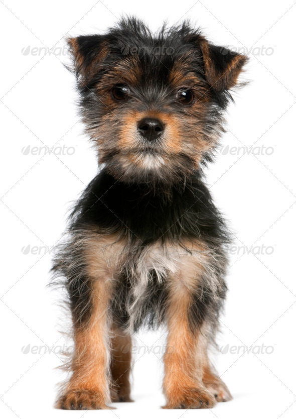 Yorkshire Terrier puppy, 3 months old, standing in front of white background - Stock Photo - Images