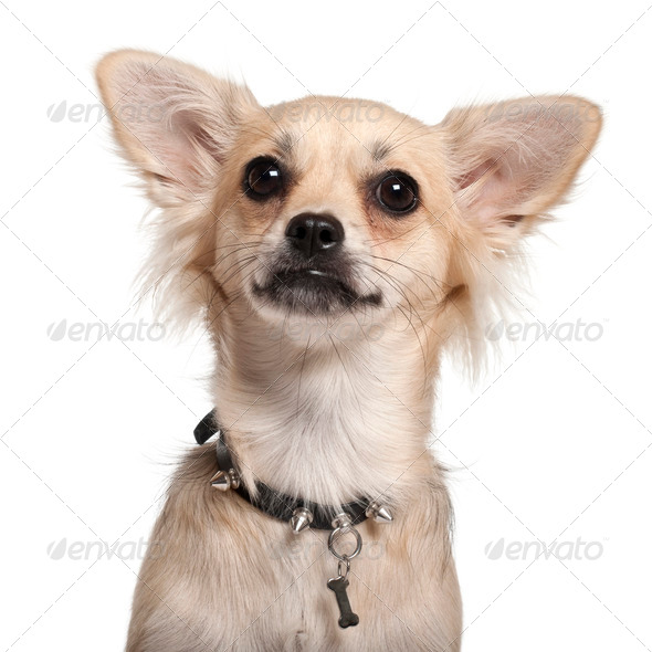 Close-up of Chihuahua, 10 months old, in front of white background - Stock Photo - Images