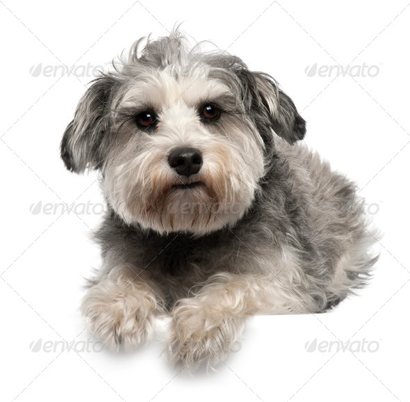 Miniature Schnauzer, 3 years old, lying in front of white background - Stock Photo - Images