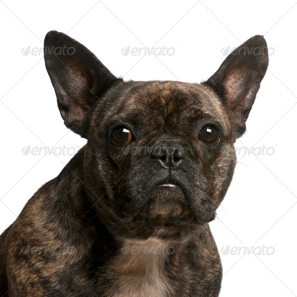 Close-up of French bulldog, 4 years old, in front of white background - Stock Photo - Images