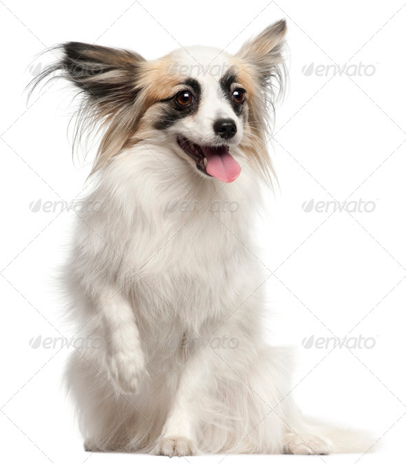 Papillon, 15 months old, sitting in front of white background - Stock Photo - Images
