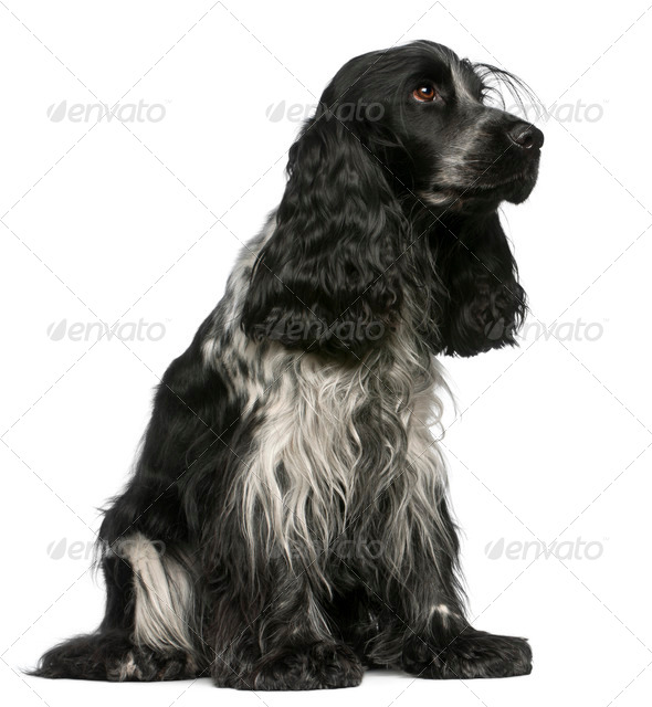 English Cocker Spaniel, 2 and a half years old, sitting in front of white background - Stock Photo - Images