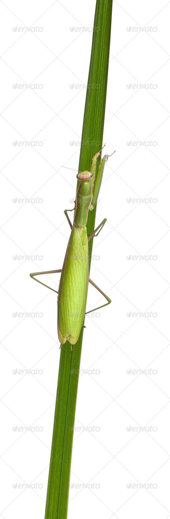Female European Mantis or Praying Mantis, Mantis religiosa, in front of white background - Stock Photo - Images
