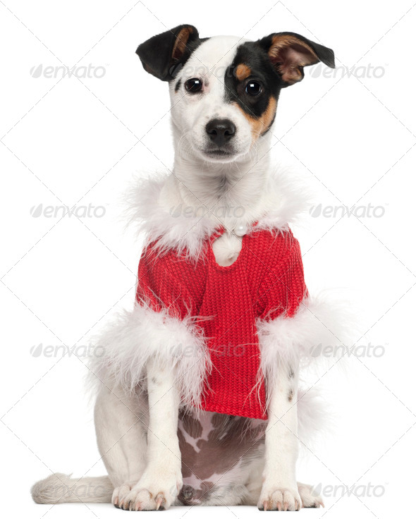 Dog dressed in red Christmas outfit in front of white background - Stock Photo - Images