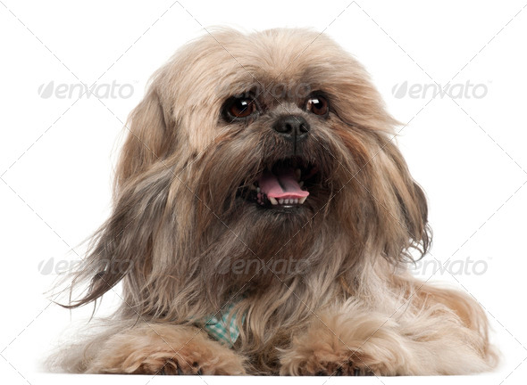 Lhasa Apso wearing a tie and lying in front of white background - Stock Photo - Images