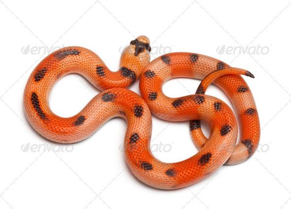Tricolor Honduran milk snake, Lampropeltis triangulum hondurensis, in front of white background - Stock Photo - Images