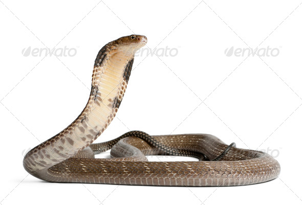 king cobra - Ophiophagus hannah, poisonous, white background - Stock Photo - Images
