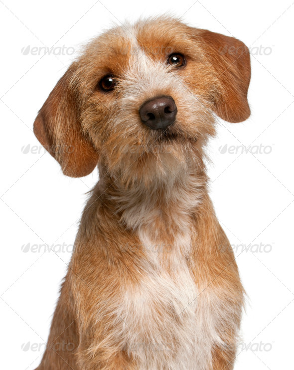 Close-up of Basset Fauve de Bretagne, 1 year old, in front of white background - Stock Photo - Images