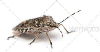 European stink bug, Rhaphigaster nebulosa, in front of white background