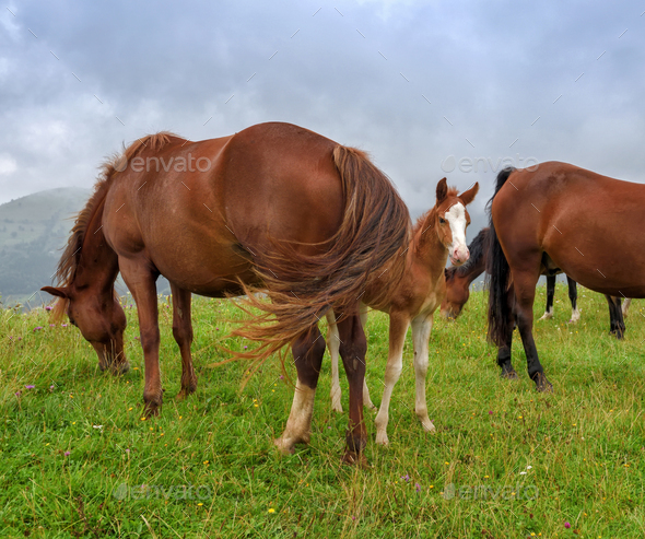 Horses on the meadow in the mountains. Foggy morning pasture - Stock Photo - Images