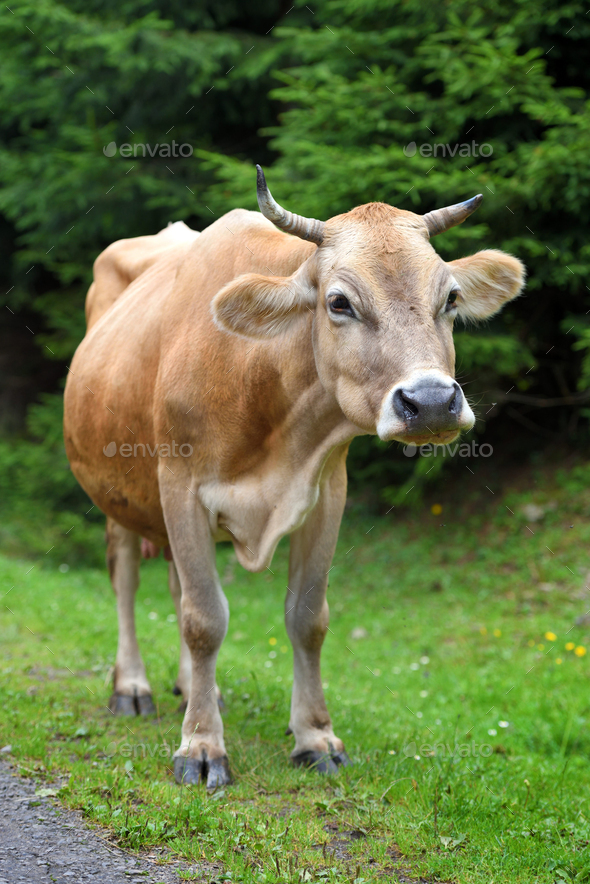 Cute brown cow near the forest - Stock Photo - Images