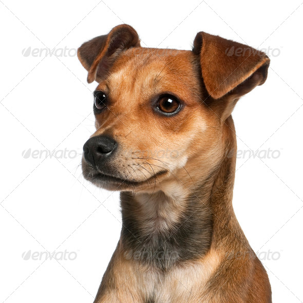 Close-up of Mixed-breed dog, 7 months old, in front of white background - Stock Photo - Images