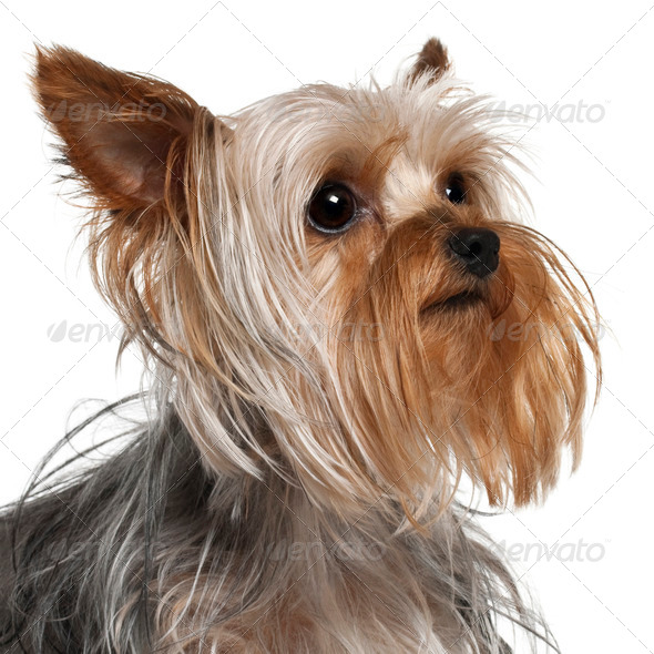 Close-up of Yorkshire Terrier, 1 year old, in front of white background - Stock Photo - Images