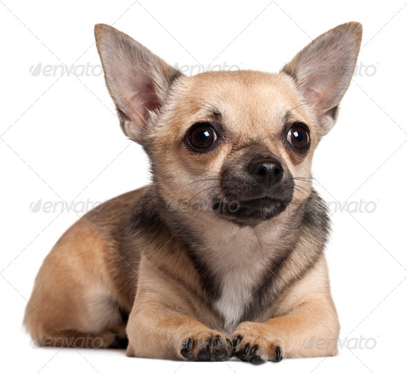 Chihuahua lying in front of white background - Stock Photo - Images