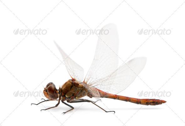Large Red Damselfly - Pyrrhosoma nymphula - Stock Photo - Images