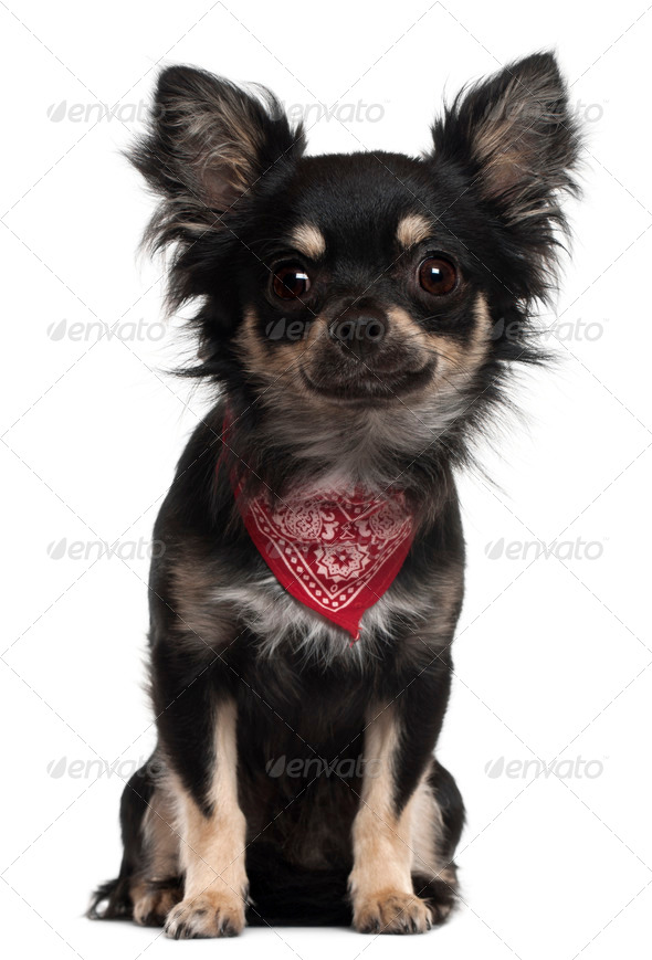 Chihuahua wearing handkerchief, 1 year old, sitting in front of white background - Stock Photo - Images