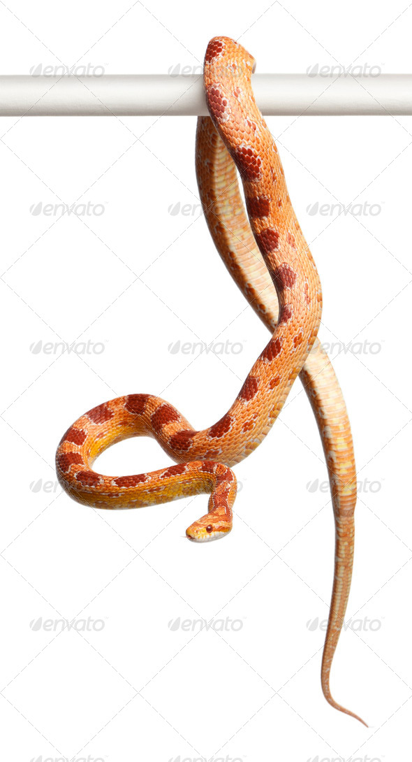 Okeetee albino Corn Snake, Pantherophis guttatus, in front of white background - Stock Photo - Images