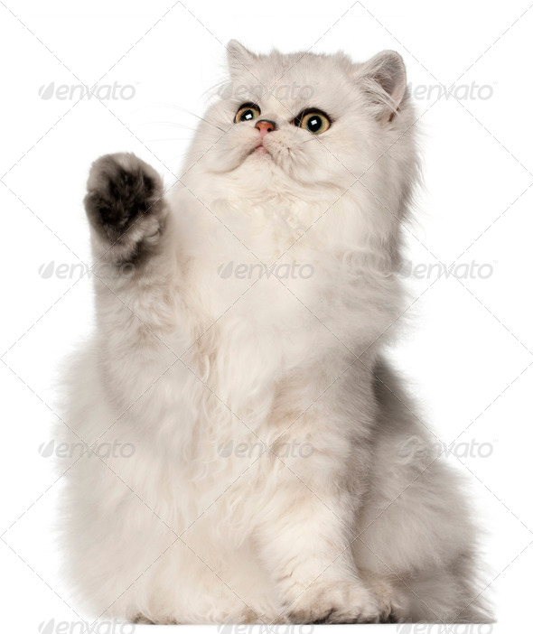 Persian cat, sitting in front of white background - Stock Photo - Images