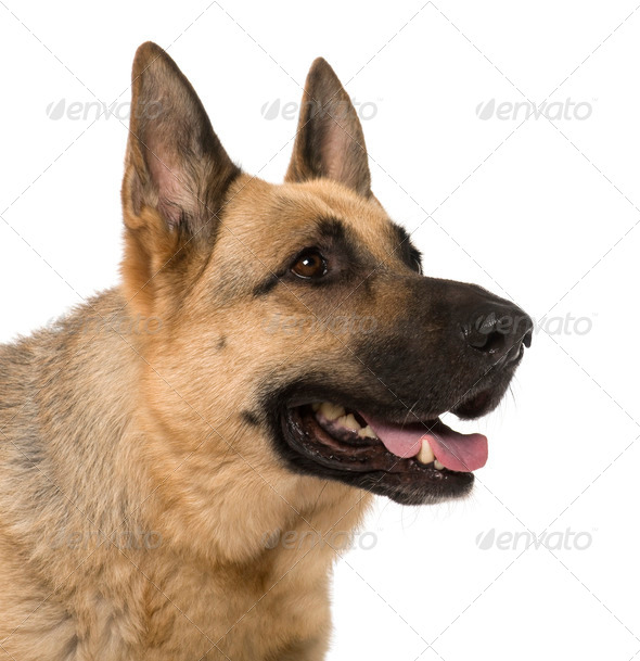 Close-up of German Shepherd, 9 years old, in front of white background - Stock Photo - Images