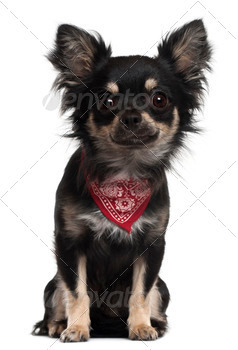 Chihuahua wearing handkerchief, 1 year old, sitting in front of white background