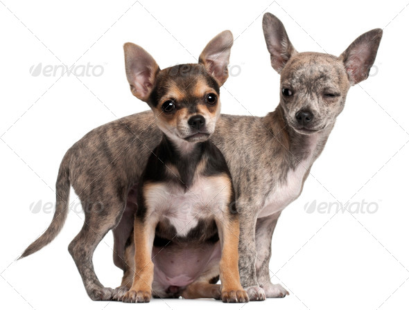 Chihuahua puppy (3 months old), Chihuahua puppy (3 months old) - Stock Photo - Images