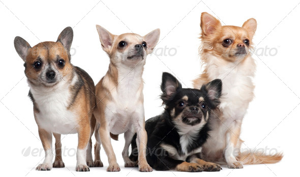 Four Chihuahuas, 6 months old, 3 years old, and 2 years old, in front of white background - Stock Photo - Images