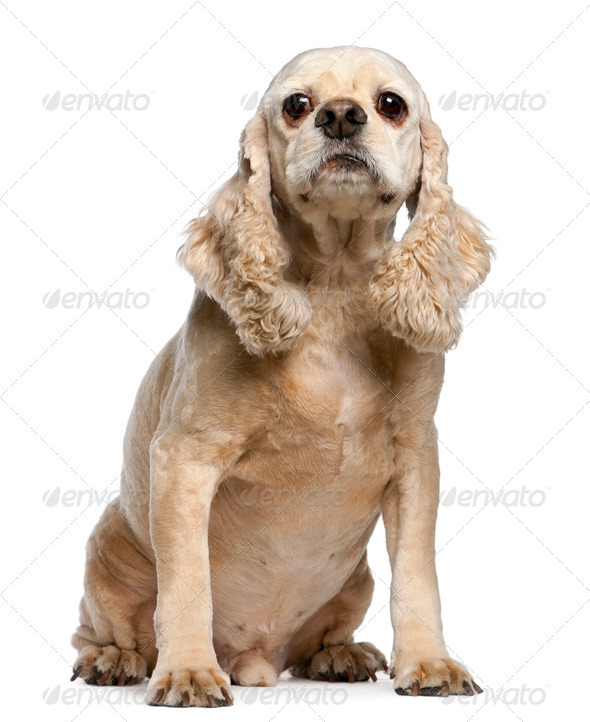 American Cocker Spaniel, 9 years old, sitting in front of white background - Stock Photo - Images