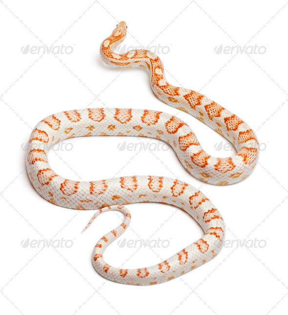Candy cane Corn Snake or Red Rat Snake, Pantherophis guttatus, in front of white background - Stock Photo - Images
