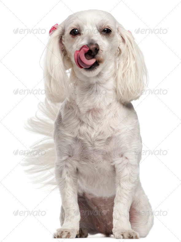 Maltese licking her nose, 3 years old, in front of white background - Stock Photo - Images