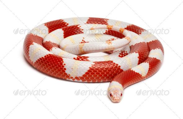Albinos milk snake or milksnake, Lampropeltis triangulum nelsoni, in front of white background - Stock Photo - Images