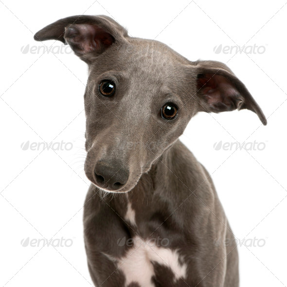 Close-up of Whippet puppy, 6 months old, in front of white background - Stock Photo - Images