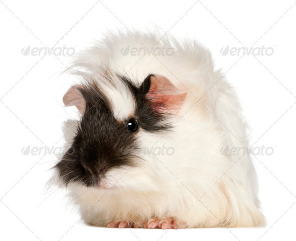 Abyssinian Guinea pig, Cavia porcellus, sitting in front of white background - Stock Photo - Images