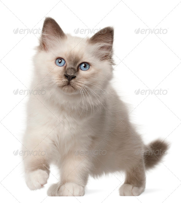 Birman kitten, 3 months old, standing in front of white background - Stock Photo - Images