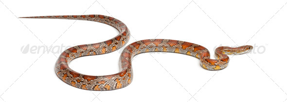 Miami Corn Snake or Red Rat Snake, Pantherophis guttatus, in front of white background - Stock Photo - Images