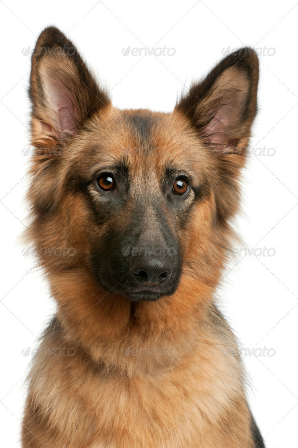 Close-up of German shepherd, 3 years old, in front of white background - Stock Photo - Images