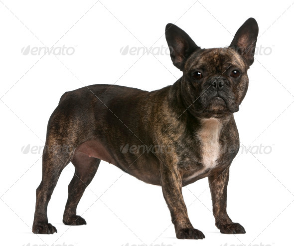 French bulldog, 4 years old, standing in front of white background - Stock Photo - Images