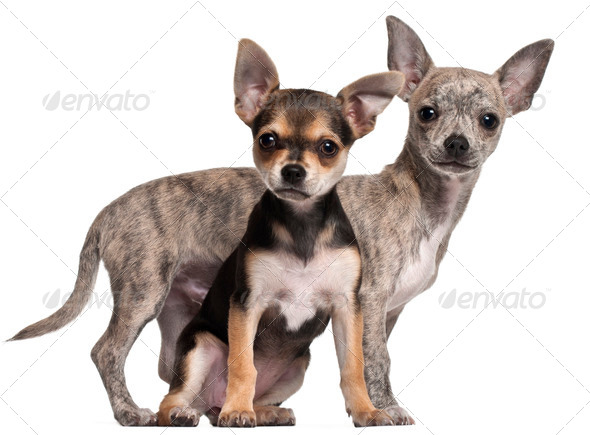 Chihuahua puppies, 3 months old, in front of white background - Stock Photo - Images