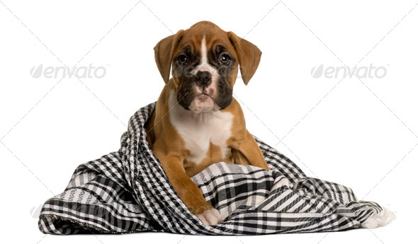 Puppy Boxer wrapped in blanket, 2 months old, in front of white background - Stock Photo - Images