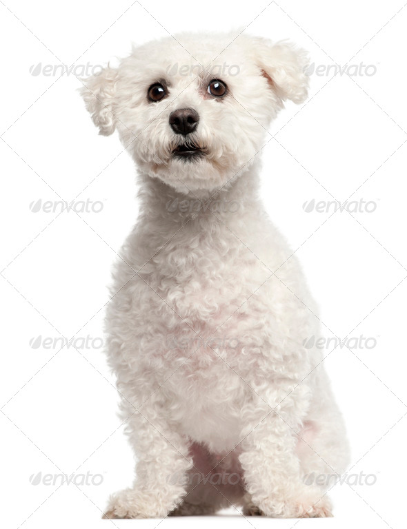 Bichon Frise, 3 years old, sitting in front of white background - Stock Photo - Images
