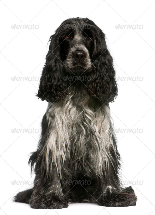 English Cocker Spaniel, 2.5 years old, sitting in front of white background - Stock Photo - Images