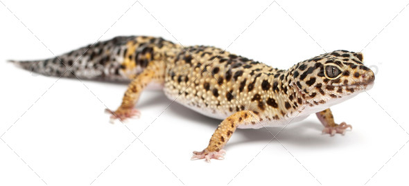 High yellow Leopard gecko, Eublepharis macularius, in front of white background - Stock Photo - Images