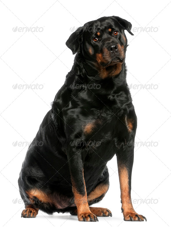 Rottweiler, 3 years old, sitting in front of white background - Stock Photo - Images