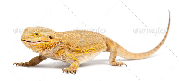 Central Bearded Dragon, Pogona vitticeps, eating a Cockroach in front of white background - Stock Photo - Images
