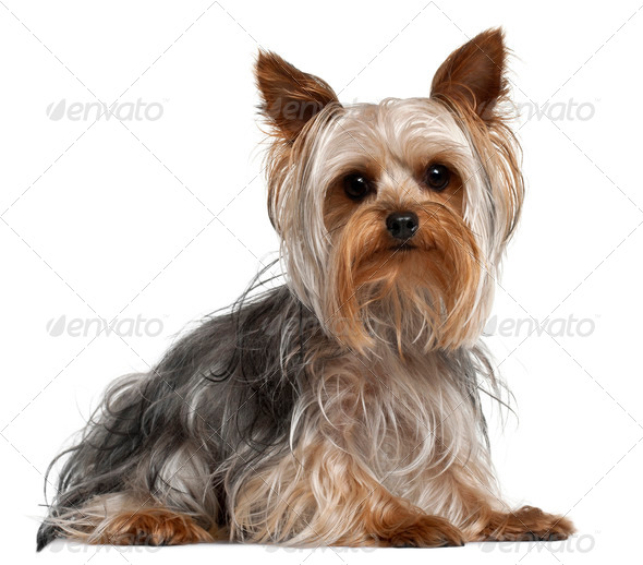 Yorkshire Terrier, 1 year old, lying in front of white background - Stock Photo - Images