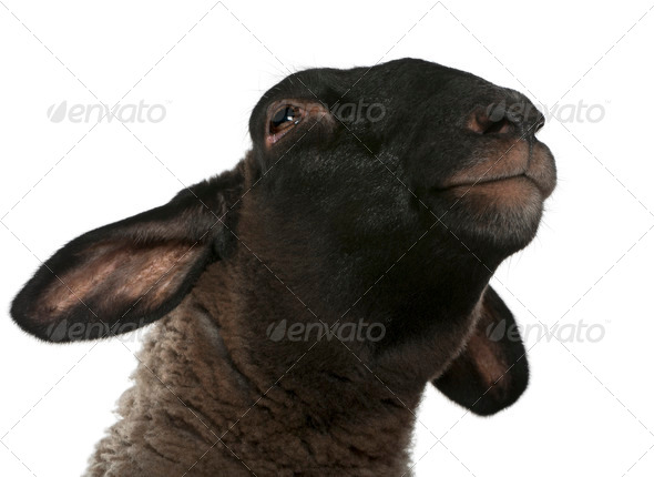 Female Suffolk sheep, Ovis aries, 2 years old, in front of white background - Stock Photo - Images
