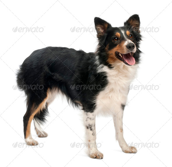 Border collie in front of white background - Stock Photo - Images